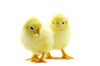 1879829-baby-chicken.png